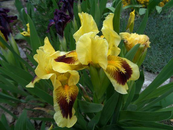 Irysy bordowe i bordowo - żółte 3