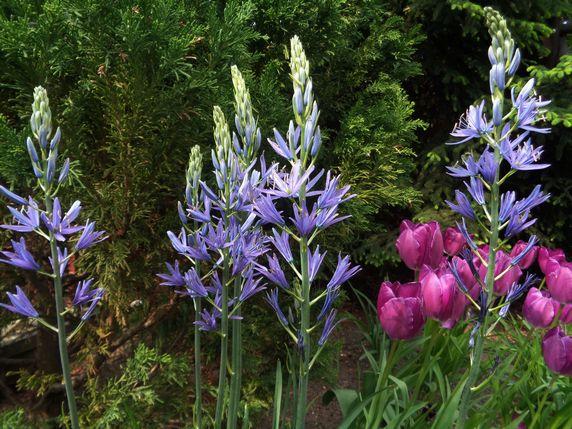 Kamasje i tulipany 2