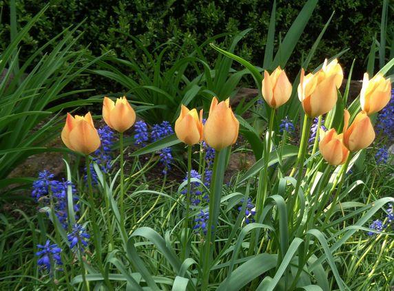 Tulipany botaniczne Battalini