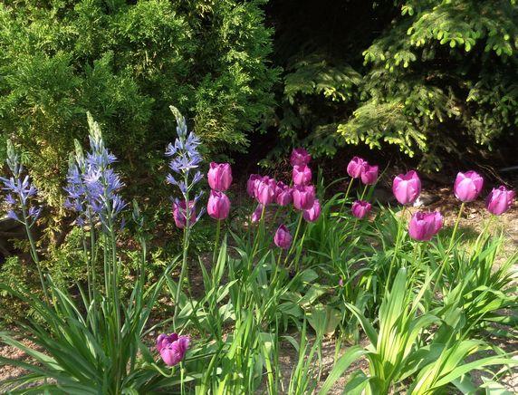 Kamasje i tulipany 1