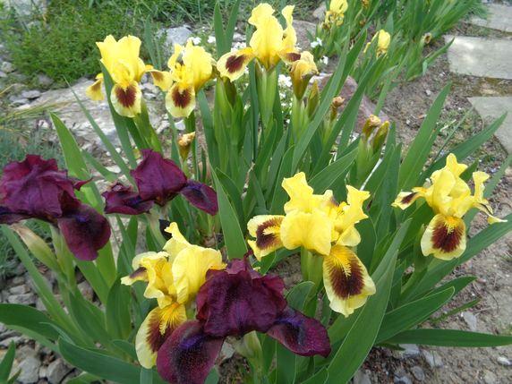Irysy bordowe i bordowo - żółte 1